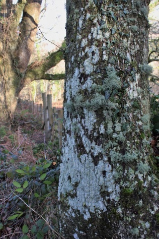 The variety of lichen on an old boundary oak