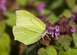 Brimstone butterfly (NE/Allan Drewitt)