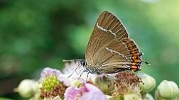 White_Letter_Hairstreak_(9430716950.Ian Kirk)