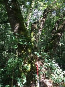July 2018 Survey pole at boundary tree 600px_James L-K
