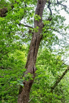 Cracked Oak - a typical roost tree