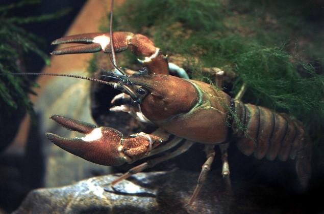 The invasive American Signal Crayfish