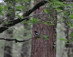 Pied Flycatcher x600px wide_Emma Magee