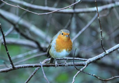 Inquisitive robin in Winter
