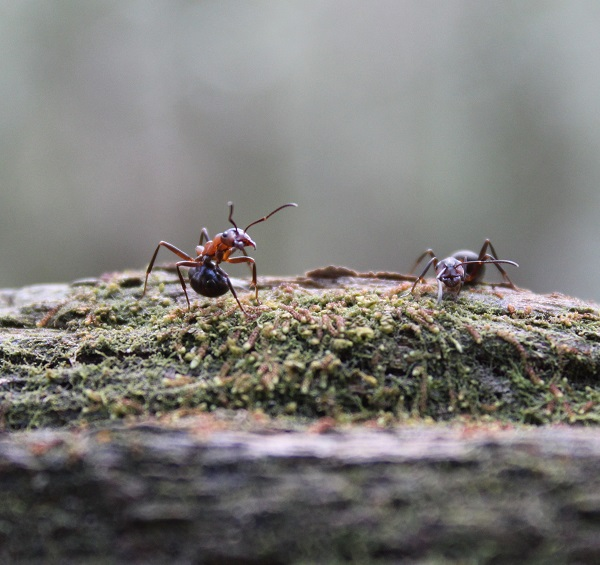 Red Wood Ant in defensive posture