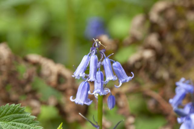 Bluebell John Bridges WTML